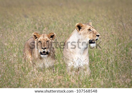 A WILD pair of (female) Lionesses return to the pride after a successful hunt of wildebeest in the Masai Mara of Kenya, Africa.