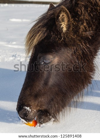A wild pony eating a red apple in deep snow - stock photo