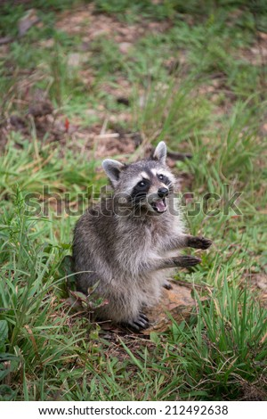 A wild raccoon takes a pause from searching for food to look up. It looks as if it were clapping it's hands. - stock photo