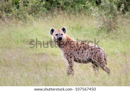 A WILD Spotted Hyena (Crocuta crocuta), also known as the Laughing Hyena or Tiger Wolf, watches closely in Masai Mara, Kenya, Africa. - stock photo