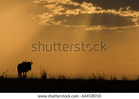 A wildebeest at sunset in the Masai Mara in Kenya. - stock photo