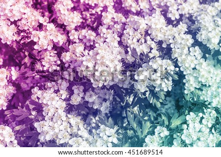A wildflower hawthorn bush in full bloom in the summer sun with added colouring. - stock photo