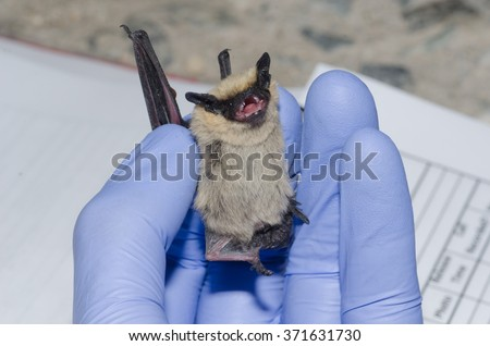 A wildlife biologist taking data on a bat caught in a mist net.   - stock photo