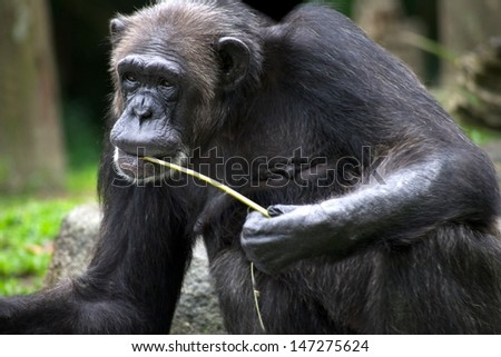 A wildlife shot of chimpanzees in captivity - stock photo