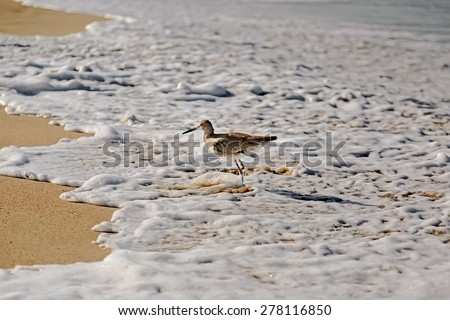 A willet bird, type of sandpiper running from ocean wave on Hermosa beach, California