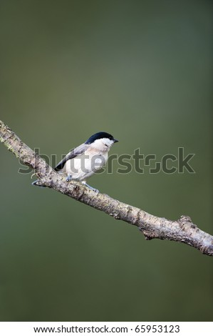A Willow Tit Perching On A Tree Branch