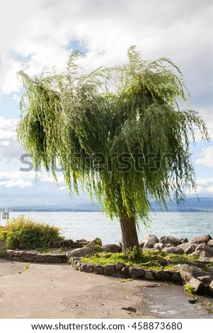 A willow tree at lake shore in Yvoire, France