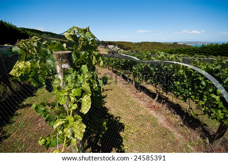 A winery on Auckland's Waiheke island, featuring grapes on the vine protected by netting - stock photo