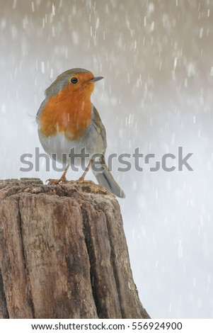 A winter robin caught in a snow shower