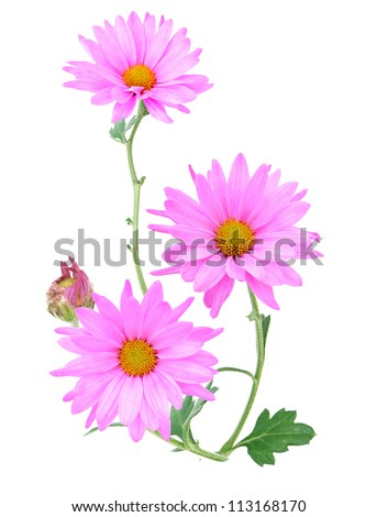 A wishing pink daisy branch - stock photo