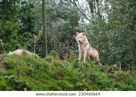 A wolf in it's natural woodland surroundings