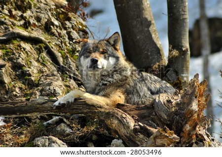 a wolf resting and appearing relaxed, on a pile of rocks looking directly at the camera