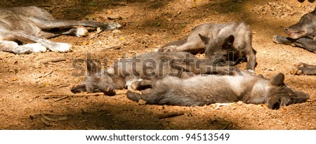 A wolfpack in a german zoo - stock photo