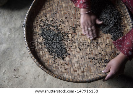A woman sorting and cleaning lentils. - stock photo