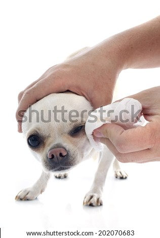 a woman washing the eyes of her chihuahua
