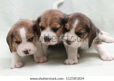 a wonderful little puppy dog beagle - stock photo