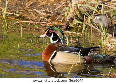 A wood duck - stock photo
