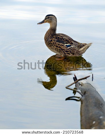 A wood duck standing on the end of a submerged log in a lake with reflections of the sky in the water. - stock photo