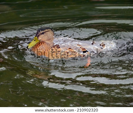 A wood duck that has just come up from a dive, it's back is covered with a sheet of water. - stock photo