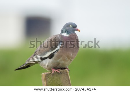 A Wood Pigeon ( Columba oenas ) Perched on a Fence Post - stock photo