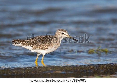 A Wood Sandpiper (Tringa glareola) wading in water, against a blurred natural background, Andalucia, Spain