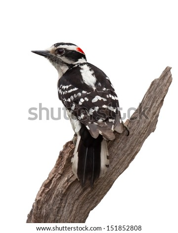 A woodpecker forms a v-shape while clinging to a piece of driftwood. Black and white  feathers, a dash of red on his crown and a chisel-like bill make the bird easy to identify. White background.