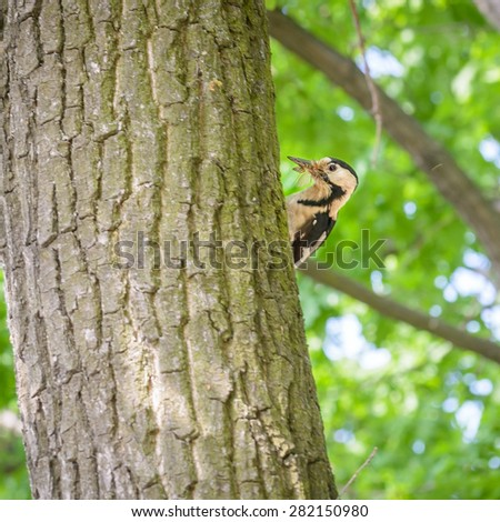 A woodpecker on a tree trunk is holding an insect in his beak - stock photo