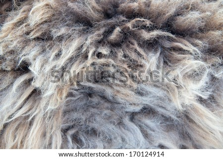a wool background, closeup of a sheepskin - stock photo
