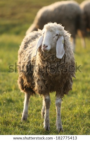 A woolly Italian sheep is standing in the field; other sheep are behind. The scene is gently lit by the last daylight. Portrait shaped.