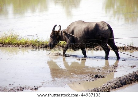 A working buffalo at the rice fields in the Philippines