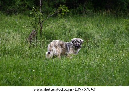A working sheepdog dog in the green field - stock photo