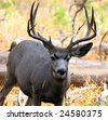 A 5x5 Buck Mule Deer in Yellowstone National Park - stock photo
