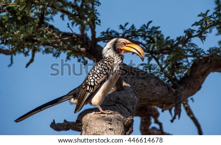 A Yellos-billed Hornbill perched on a branch in a tree in Southern Africa - stock photo