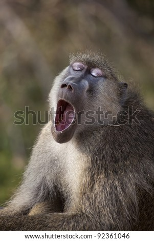 A yellow baboon yawns with his eyes closed.  Photographed on safari in Africa.