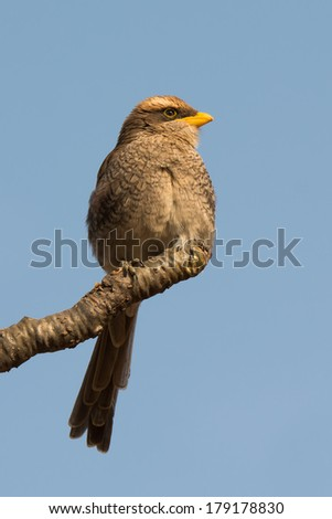 A Yellow-billed Shrike (Corvinella corvina) with its feathers fluffed