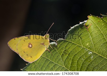 A yellow butterfly on a green leaf