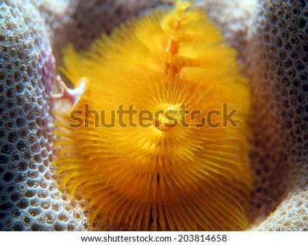 A yellow Christmas tree worm (Spirobranchus giganteus, serpulidae) on brain coral - stock photo