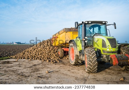 A yellow dumper pulled by a tractor dumps sugar beets on a heap beside the field awaiting transport to the sugar factory.