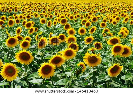 A yellow field of sunflowers - stock photo