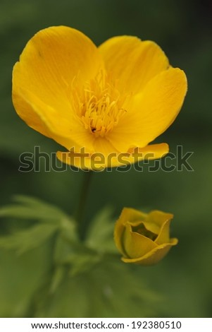 A yellow flower in bloom above one beginning to bloom. - stock photo