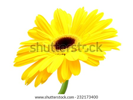 A yellow Gerber flower, daisy isolated on white  - stock photo