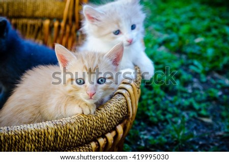 A yellow kitten and a white and buff kitten in a basket. - stock photo