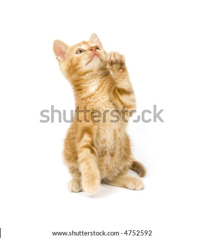 A yellow kitten begs for a treat on white background - stock photo