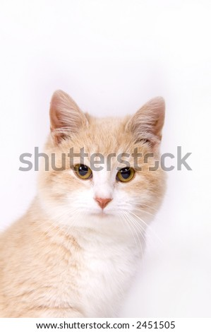 A yellow kitten looks at camera a white background