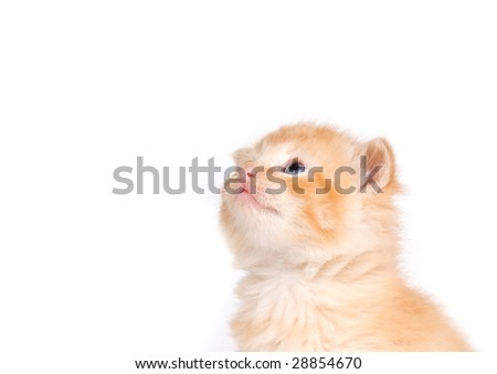 A yellow kitten looks up on a white background