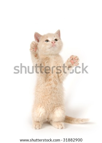 A yellow kitten on its hind legs on white background - stock photo