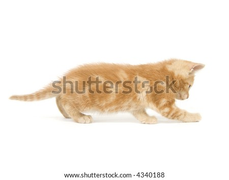 A yellow kitten pounces and plays on a white background