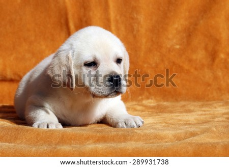 a yellow labrador puppy laying on orange background