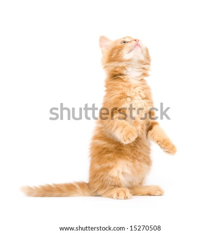 A yellow long-haired kitten sitting and begging on a white background. One in a series.