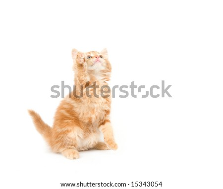 A yellow long-haired kitten sitting on a white background. One in a series.